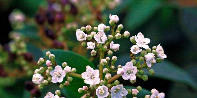 Viburnum tinus varietà 'Eve price' – Viburno