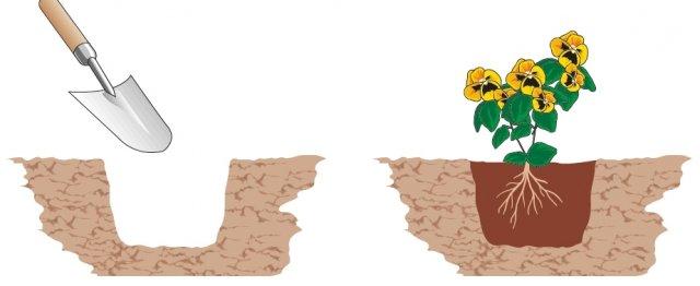 1. A questo punto, con una paletta da giardiniere, si procede con l'esecuzione delle buche, tante quante sono le piantine acquistate: devono essere profonde circa 15 cm e distanti 30 cm, in previsione dello sviluppo delle singole piante. Per una bordura di viole lunga 3 metri, serviranno 10 piantine circa. Si liberano le piantine dal vasetto, si districano lievemente le radici con le mani, e si adagia la piantina nella buca, con il colletto allo stesso livello della superficie del terreno. Si riempie lo spazio restante della buca con terriccio, si preme leggermente ai lati con le mani e si innaffia per far aderire bene la terra alle radici della piantina