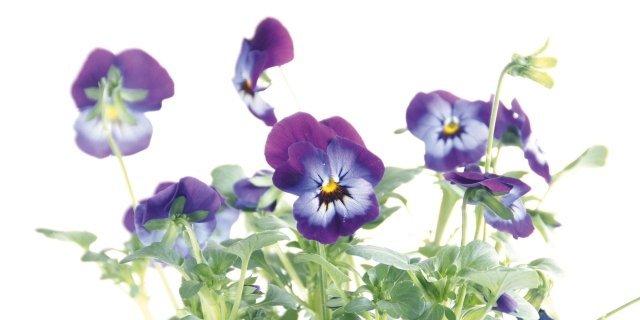 Una bordura di viole