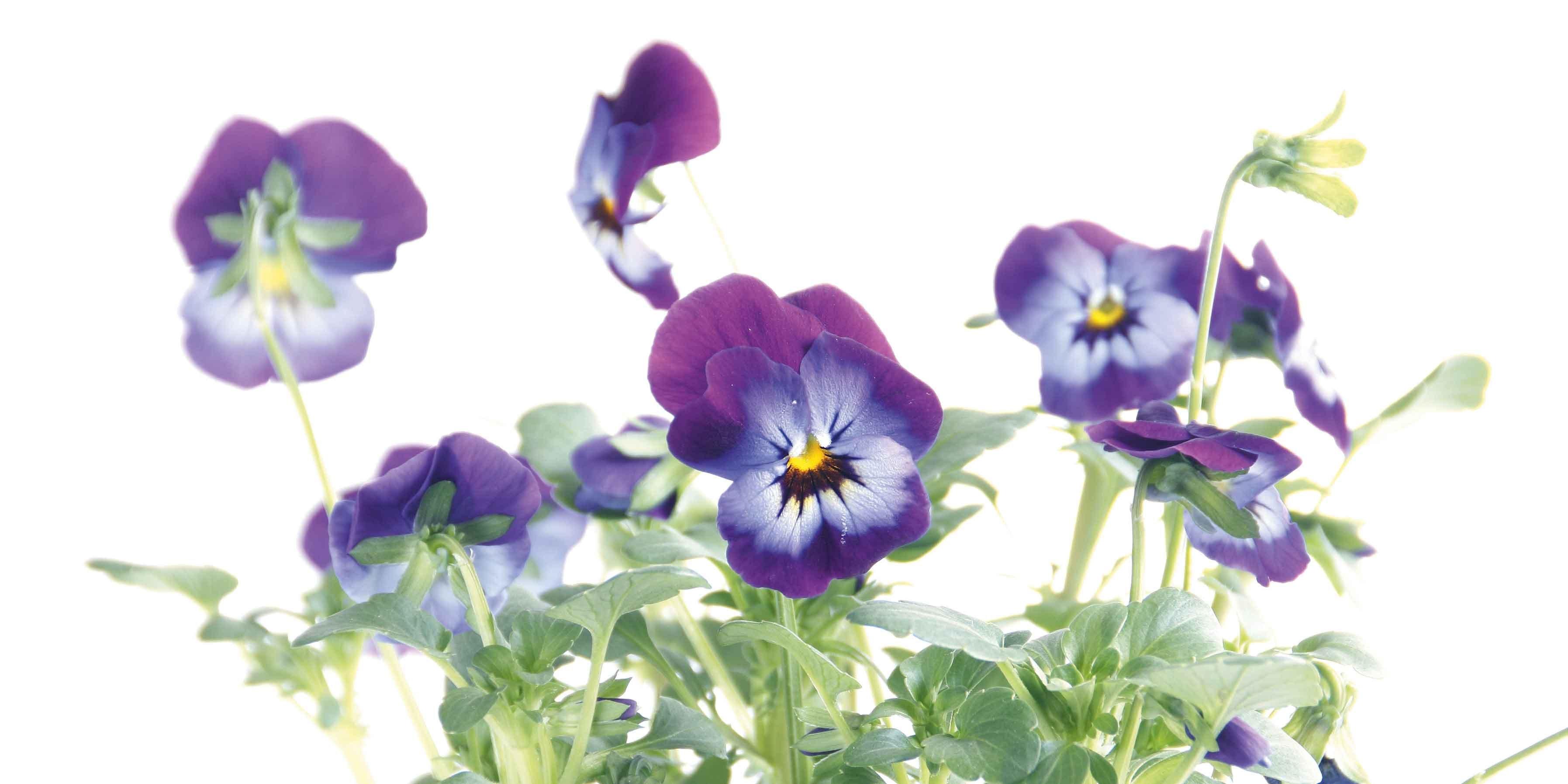 Fiori Tappezzanti Per Aiuole una bordura di viole: preparazione terra e messa a dimora