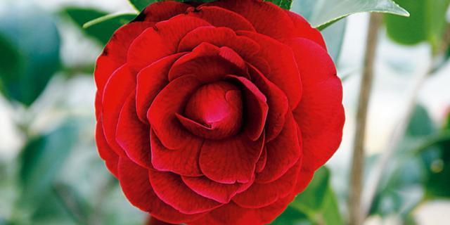 Camellia reticulata 'Black Lace' – camelia dello Yunnan