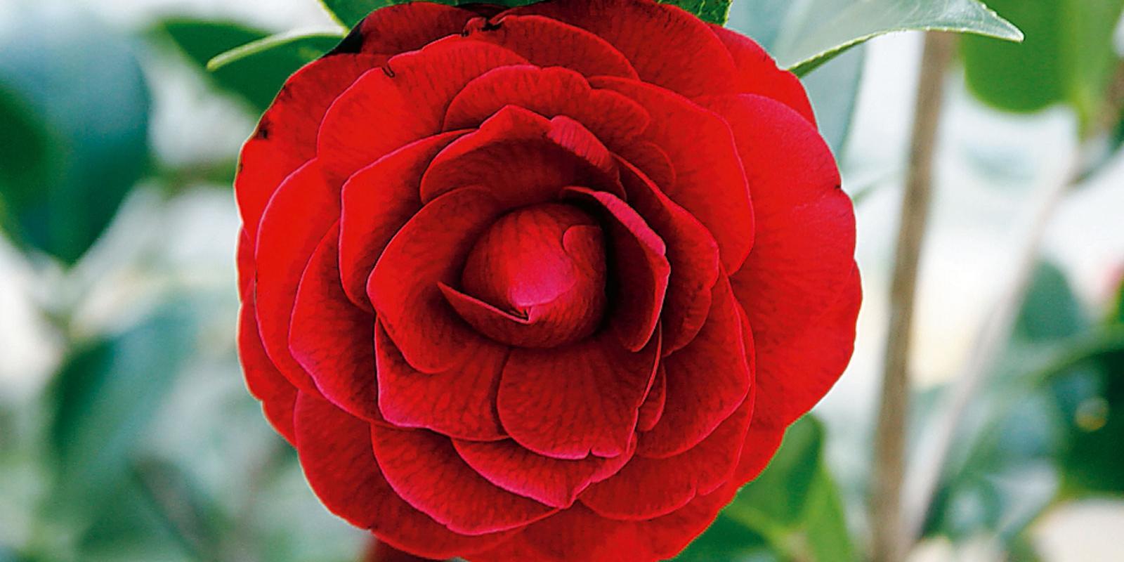Camellia reticulata 'Black Lace' – camelia dello Yunnan ...