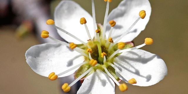 Prunus cerasifera – mirabolano