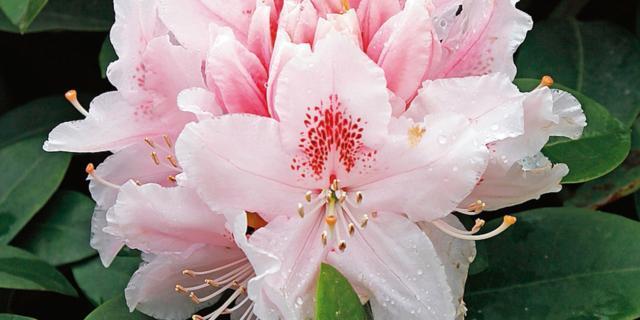 Rhododendron 'Albert Schweitzer' – rododendro