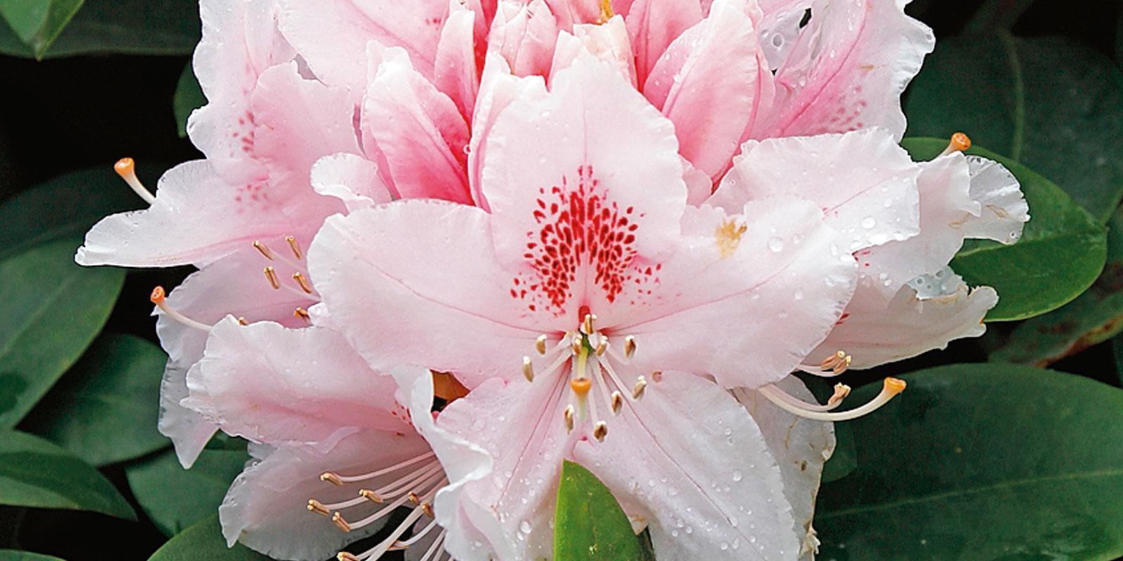 Camerette 50 : Rhododendron 'albert schweitzer rododendro cose di casa