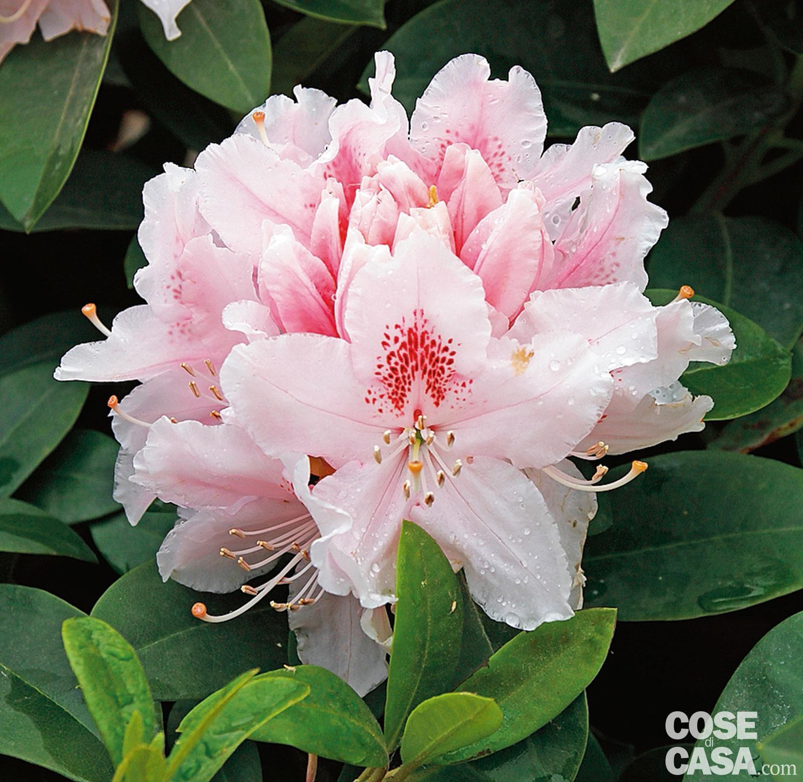 Rhododendron albert schweitzer rododendro cose di casa for Rododendro pianta