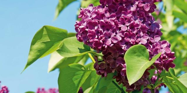 Potare il lillà dopo la fioritura