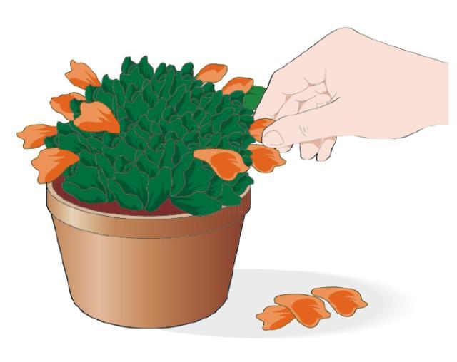 Per garantire una fioritura prolungata e per conservare la salute delle piante grasse è necessario eliminare i fiori via via che sfioriscono: bisogna afferrare la corolla appassita tra il pollice e l'indice e staccarla delicatamente. Ripetere questa operazione ogni volta che termina la fioritura.