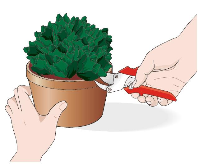 Se la pianta è stata colpita da funghi o malattie, tutte le parti possono essere danneggiate, fusto compreso. Occorre intervenire prima che il problema si diffonda. Le foglie e i fusti danneggiati che diventano scuri, vanno rimossi con un paio di cesoie ben affilate se si vuole far sopravvivere il resto della pianta.