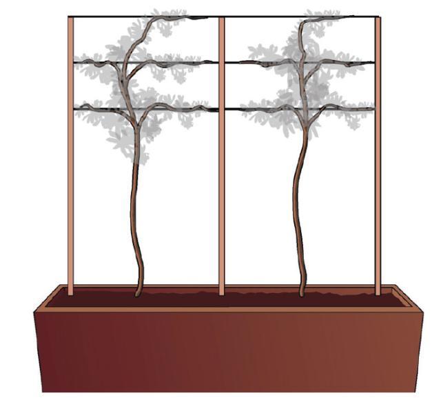 2. In alternativa, è possibile creare un supporto con due o tre tutori (bastoni o canne) inseriti stabilmente nella terra ai due estremi del vaso, rivolti verso la parete, più uno centrale sempre rivolto verso la parete. Quindi si legano dei fil di ferro, o cordini resistenti, parallelamente al suolo, tra i tutori.