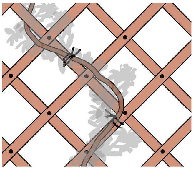 3. I fusti rampicanti non sono in grado di aggrapparsi da soli alla griglia o alla struttura predisposta: man mano che crescono è necessario fissarli con morbidi legacci.
