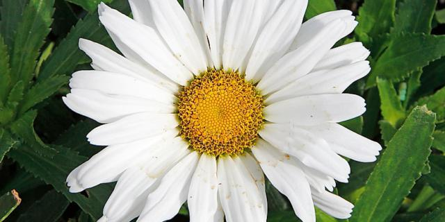 Leucanthemum var. 'Daisy May' – Margheritone