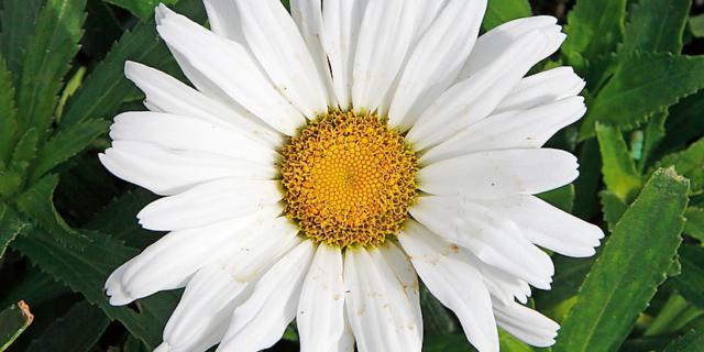 Leucanthemum var. 'Daisy May' – Margheritone