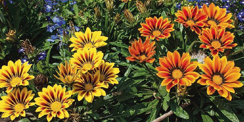 La bordura fiorita al sole cose di casa for Piante da aiuola perenni