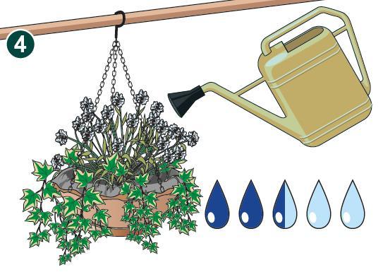 4. Appena create, le composizioni andranno bagnate abbondantemente in modo da favorire l'attecchimento delle radici al nuovo substrato. Le bagnature successive non dovranno invece essere eccessive perché i nutrienti non vengano dilavati dalla piccola quantità di terreno a disposizione; le irrigazioni dovranno comunque essere assidue e continuative consapevoli che la scarsa entità di compost a disposizione nel basket si seccherà con facilità.