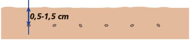 È possibile seminare la cicoria da taglio per tutto l'anno, eccezione fatta per i mesi più freddi, in base alla zona climatica e alla varietà prescelta. Per tutti i tipi il seme, distribuito a mano o a macchina, a spaglio o in file, deve essere interrato alla profondità di 0,5-1,5 cm.