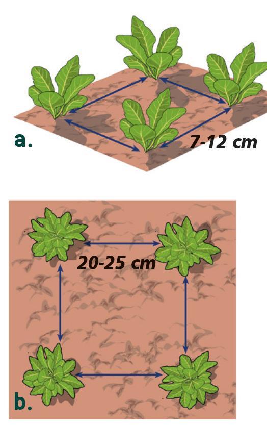 a)Le cicorie da taglio a seconda che le foglie della varietà scelta siano lunghe o larghe, devono essere messe a dimora a una distanza di 7-12 cm. b) Le cicorie da cespo invece dovranno essere messe a dimora ad una distanza di 20-25 cm.