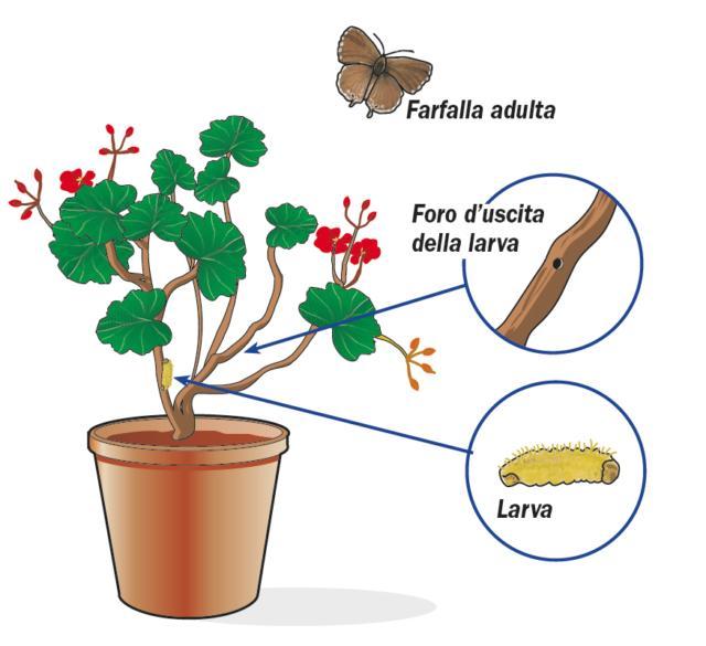Per evitare brutte sorprese, al momento dell'acquisto occorre valutare bene la pianta osservandola. Verificare la presenza di eventuali fori di fuoriuscita delle larve, sui fusti o nei boccioli, o di sintomi di appassimento dei fiori o di parti di pianta.