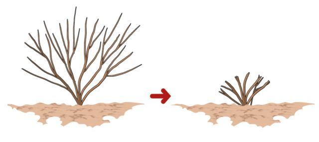 Una volta ogni 3-4 anni è consigliabile eseguire un taglio drastico della pianta, a 50 cm dal suolo: in questo modo viene ringiovanita e rinvigorita una pianta adulta. Meglio eseguire questo taglio in autunno (settembre-ottobre).