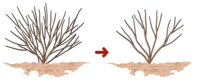 Una lieve potatura primaverile viene, invece, eseguita ogni anno per ripulire la pianta da rami secchi, deboli o lesionati. Con questo intervento, inoltre, si mantiene la pianta nella forma voluta, evitando che si allarghi troppo.