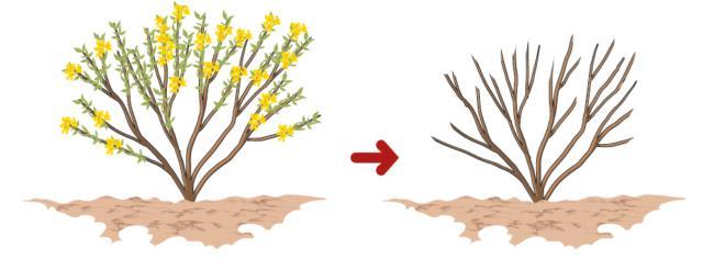 Sempre ogni anno, è importante una potatura dopo la fioritura, a settembre od ottobre, quando i fiori sono tutti appassiti: quest'intervento viene fatto al fine di evitare lo sviluppo dei frutti, e quindi dei semi, che, una volta maturi, vengono scagliati all'apertura del baccello andando a disseminarsi tutt'intorno. Tutti i rami che hanno fiorito vengono quindi raccorciati asportando i fiori secchi. In questo modo, inoltre, viene favorito l'infoltimento della chioma nelle piante più giovani e viene diradata, invece, la chioma di quelle più vecchie e disordinate.