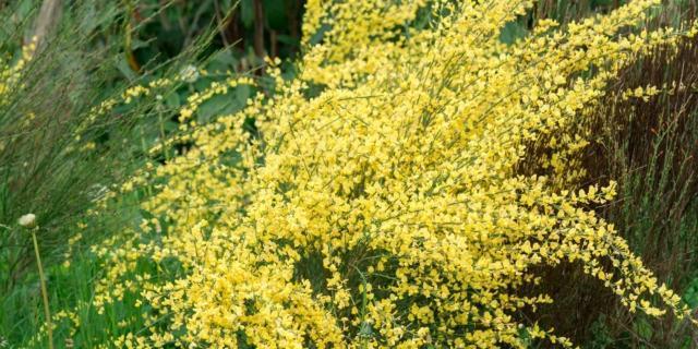 Poche cure per la ginestra fiorita in giardino