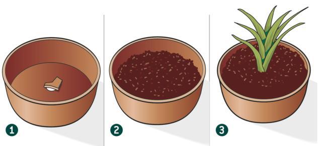 1. Chiudere il foro di scolo con un coccio di un vaso rotto e stendere uno strato di qualche centimetro di argilla espansa.2. Inserire terriccio per piante acidofile arrivando fino a metà del vaso e poi aggiungere la pianta. Quindi, aggiungere altro terriccio fino a colmare il vaso e premere in modo da compattarlo al pane di terra.3. Terminare l'operazione lasciando qualche centimetro di spazio tra il bordo del vaso e la superficie del terreno per permettere la giusta irrigazione.