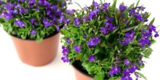 Le piante fiorite per il balcone all'ombra