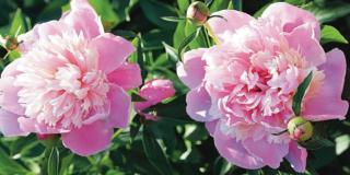Prolungare la fioritura delle peonie