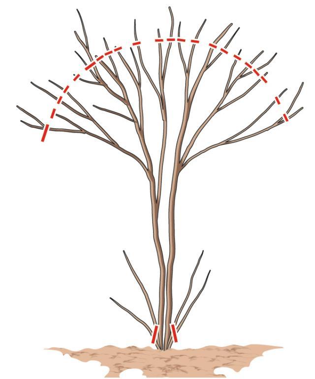 Una volta all'anno, solo sei si vuole dare una forma regolare e ordinata alla chioma, è possibile potarla: quest'operazione va eseguita in autunno/inverno, quando le foglie sono già cadute ed è maggiormente visibile l'intrico dei suoi rami, così da eseguire tagli precisi e mirati a dare la forma voluta alla chioma. Per ottenere una chioma tonda e ordinata sarà anche necessario eliminare tutti i rametti che si sviluppano alla base o lungo il tronco; la Lagerstroemia tende, infatti, ad assumere una struttura a cespuglio disordinato se non viene indirizzata con la potatura. La potatura aiuta inoltre la pianta a rinvigorirsi e a emettere nuovi rametti, così da ottenere una fioritura più abbondante.