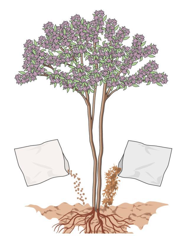 La pianta non richiede necessariamente interventi di concimazione. Tuttavia, volendo incrementare la sua fioritura, sia in termini quantitativi (numero di fiori) che qualitativi (dimensione e colorazione dei fiori), può essere utile, in primavera, distribuire una o due manciate di concime granulare a lenta cessione, o un po' di letame maturo, ai piedi della pianta.