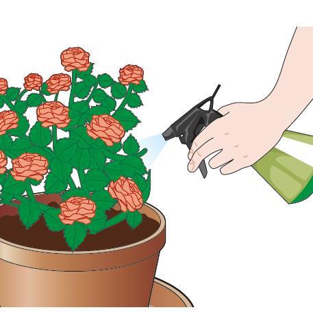 Inoltre le piante devono essere nebulizzate giornalmente con acqua possibilmente non calcarea. Attenzione però a non bagnare le foglie delle rose, che vengono colpite facilmente da oidio e ticchiolatura.