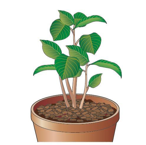 Per contrastare l'evaporazione dal terreno è buona regola stendere uno strato di qualche centimetro di corteccia di aghifoglie di piccole dimensioni (acquistabile in tutti i garden e centri commerciali).