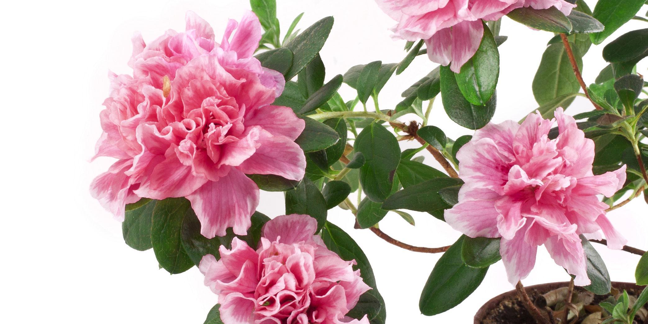 Ortensie Bianche Come Curarle piante acidofile: le cure contro il caldo - cose di casa