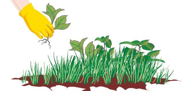 Quando si utilizzano le mani, indossare un paio di guanti protettivi e afferrare la pianta alla base evitando di dare strappi ma estrarla delicatamente, smuovendola prima a destra e poi a sinistra in modo che la radice venga via interamente.