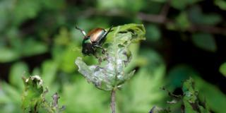 Popillia japonica, insetto nemico