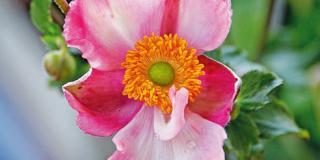 Anemone x hybrida 'Pink Kiss'  – anemone giapponese