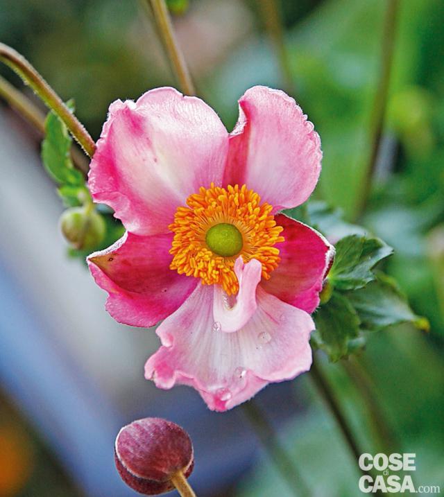 anemone pink kiss