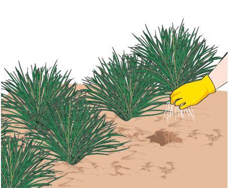 2. I cespi che vengono estirpati, con parte dell'apparato radicale, possono essere riutilizzati mettendoli in terra in altri punti del giardino, o per infittire aree più rade.