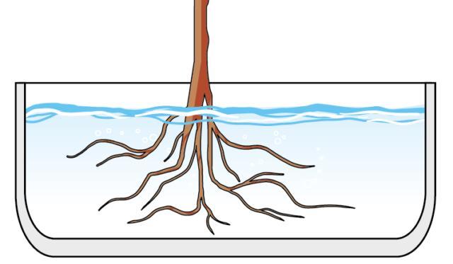 1. Per passare dalla coltivazione tradizionale a quella in idrocoltura, la prima cosa da fare è estrarre la pianta dal vaso e eliminare completamente la terra pulendo l'apparato radicale con meticolosità. Bisogna immergere le radici della pianta in acqua tiepida, rinnovata più volte. poi la pianta può essere trasferita.