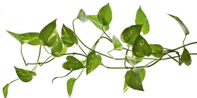In casa, meglio le piante in idrocoltura