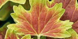 Pelargonium 'Vancouver centennial' – geranio