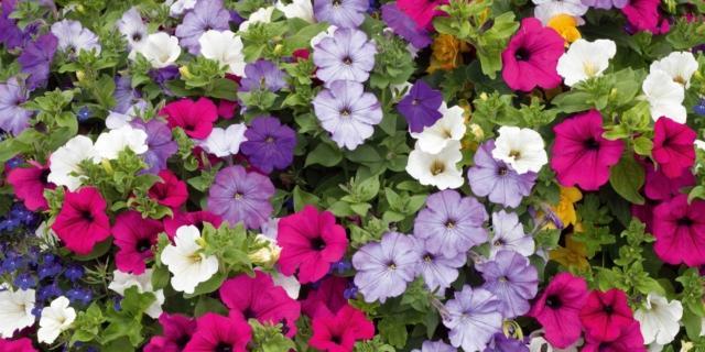 Surfinie, Petunie o Potunie? Tipologie e come coltivarle - Cose di Casa