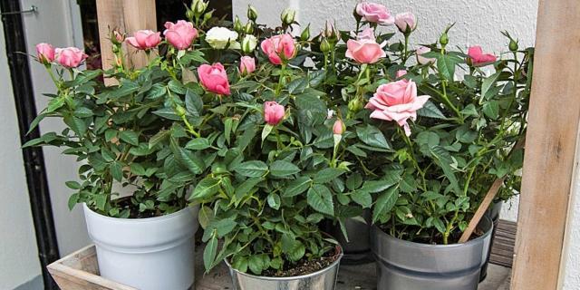 Moltiplicare le rose per talea estiva