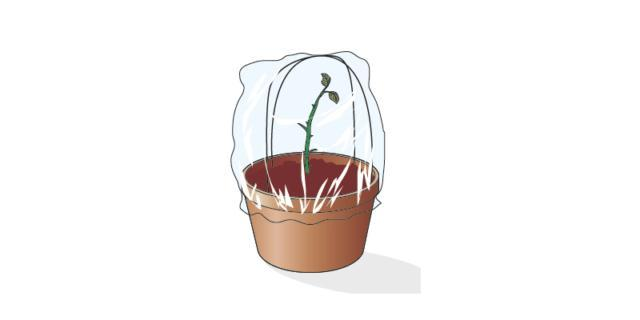 Una volta messa in terra, a una profondità di 4-5 cm, la talea va mantenuta in una posizione semiombreggiata (non sotto i raggi diretti del sole) e calda. Per mantenere sempre il giusto livello di umidità ed evitare che la talea si disidrati e secchi, è consigliabile nebulizzare acqua a temperatura ambiente, o coprirla con un cellophane trasparente bucherellato, o,con una bottiglia in plastica trasparente, privata del tappo e del fondo. come una mini serretta fai-da-te.