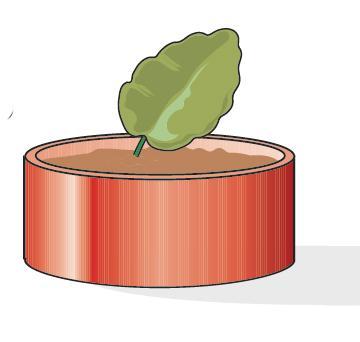 La foglia deve essere interrata in un vasetto di coccio, o anche in plastica, di piccole dimensioni (diametro 8 cm va bene). Si deve utilizzare un substrato soffice, costituito per metà da terriccio da semina e metà da sabbia. Questa composizione permette al terreno di mantenere sempre il giusto grado di umidità e, nello stesso tempo, di lasciar drenare in profondità l'acqua in eccesso che provocherebbe lo sviluppo di marciume sui tessuti della foglia, con conseguente insuccesso.