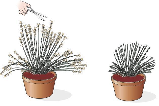 1. Per evitare che la pianta sviluppi i semi, andando a impoverire la pianta e a spargersi sul terreno, occorre potare le infiorescenze secche. Mentre si taglia, si tenga presente che questo è il periodo giusto anche per prelevare le foglie dai cespi, così da farle essiccare appese in un ambiente fresco e ombreggiato. Le fioriere di graminacee hanno un fogliame molto bello con tonalità e sfumature diverse e potrà essere usato come materiale prezioso per la creazione di composizioni di fiori e foglie da tenere in casa. Il taglio delle foglie è utile anche per sfoltire i cespi diventati troppo compatti, anche se la potatura vera e propria di queste piante viene eseguita a fine inverno, tagliandole basse (a pochi cm dal terreno).
