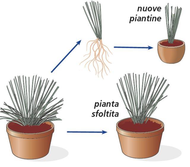 2. Una pianta diventata troppo folta e compatta potrà essere sfoltita dividendone e separandone alcuni cespi, da ripiantare in altri vasi a creare nuove piante. La pianta viene così arieggiata e rinnovata. I cespi che si staccano dalla pianta originaria devono essere dotati di radici per sopravvivere, e devono essere ripiantati immediatamente in un nuovo terreno. Per staccarli, si scava attorno alla pianta, nella zona del colletto, in maniera tale da scoprire l'apparato radicale della pianta alla profondità giusta per staccarne i cespi, con delicatezza.