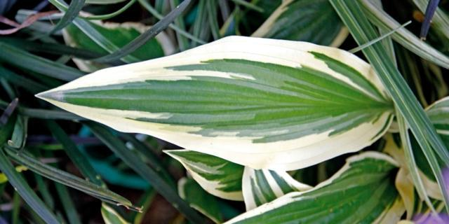 Hosta 'Yellow splash'