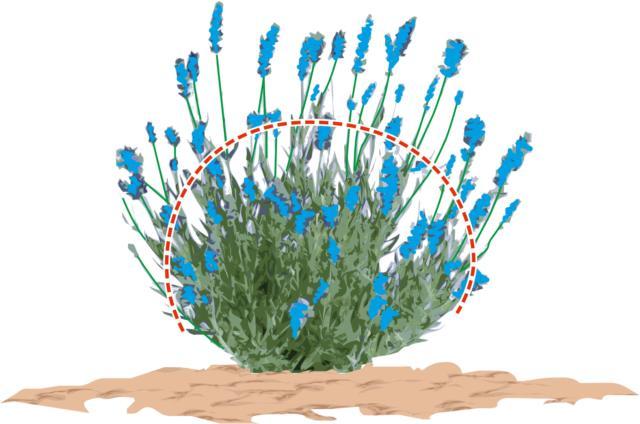 Nelle piante giovani vanno tagliati gli steli sfioriti fino a circa due centimetri dal ramo sottostante, poi dare una ripassata cercando di dare alla pianta una forma arrotondata.